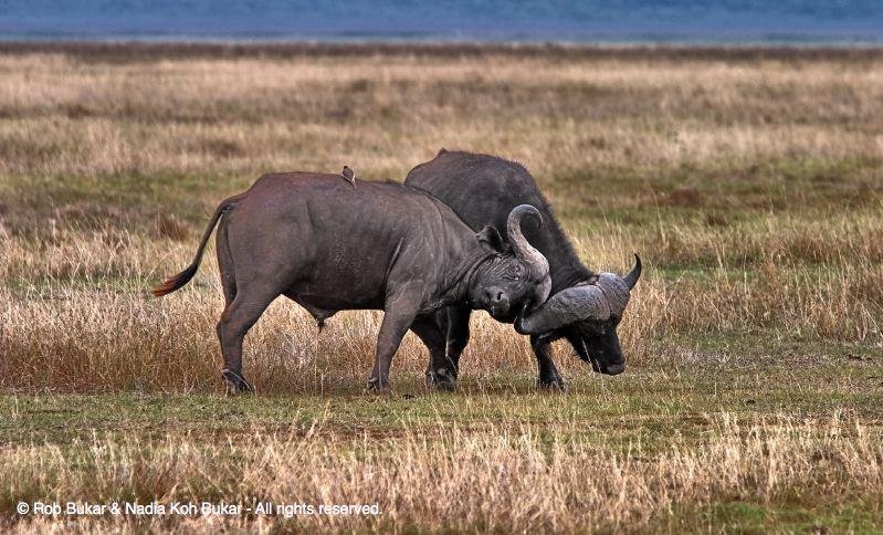 L Bearden Buffalo Buffalo